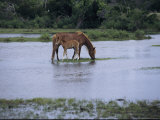 A Grazing Chincoteague Pony with Her Foal