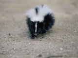 A Close View of a Striped Skunk in the Foothills of Los Angeles
