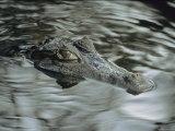 A Spectacled Caiman Swims Through a Stream in Venezuela