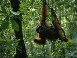 A Male Orangutan Feeds on Fresh Fruit Plucked from a Tree