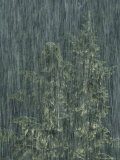 Heavy Rainfall Partially Obscures a View of a Douglas Fir Tree