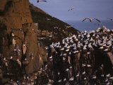 Northern Gannets Fly About the Cliffs Where They Roost