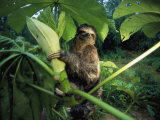 A Three-Toed Sloth Feeds on the Leaves of an Ambaibo Tree