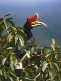 A Rhinoceros Hornbill Perched in the Crown of a Fruiting Fig Tree