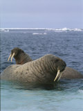 A Pair of Walruses Sit on a Submerged Ice Floe