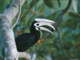 A Palawan Hornbill with a Fig in its Beak
