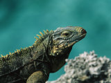 A Cuban Iguana  Cyclura Nubila  Rest on a Shoreside Rock
