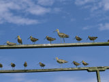 An Assortment of Shorebirds Perch on a Pair of Railings