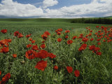Beautiful Red Poppies Line a Roadside Field Near Moscow  Idaho