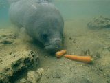 A Florida Manatee Feeds on Carrots at Homasassa Springs State Park