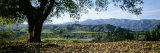 A View of a Coast Live Oak and the Santa Ynez Mountains