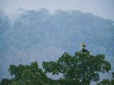 A Vocalizing Great Pied Hornbill in the Top of a Fig Tree