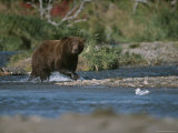 An Alaskan Brown Bear Crosses a River While Fishing for Salmon