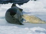 A Baby Harp Seal Nurses