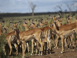 A Group of Impalas (Aepyceros Melampus) Survey Their Surroundings