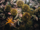 Green Sea Urchins  Chitons and a Starfish in a Tidal Pool