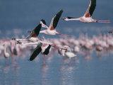 Greater Flamingos in Flight over Lake Nakuru