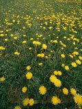 A Dandelion Filled Field in Rogers Pass