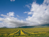 Vineyards in Californias Edna Valley