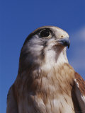 A Close View of the Head and Shoulders of an Australian Kestrel