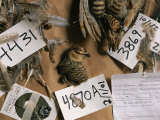 Dead Attwaters Prairie Chickens (Tympanuchus Cupido Attwateri) with Paper Tags on Them