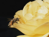 Honey Bee (Apis Mellifera) on Rose Blossom