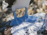 The Feet of a Blue Footed Booby Bird on Espanola Island