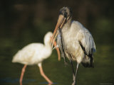 A Wood Stork Eats a Fish