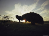 Silhouette of Horse-Drawn Hay Wagon at Sunset