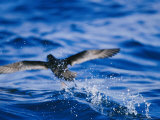 Wedge-Tailed Shearwater Running on Water for Flight Take Off