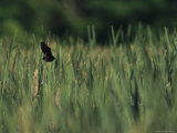 A Red-Wing Blackbird Perched on a Cattail