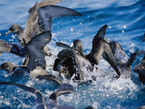 Wedge-Tailed and Short-Tailed Shearwaters Fight for a Bait Ball