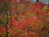 Brilliant Red Autumn Foliage