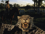 A Jaguar Pelt Taken by a Local Cattle Rancher