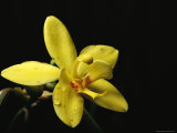 Close View of a Spathoglottis Orchid