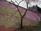 A Plum Tree Near the Miao Fengshan Buddhist Temple in Beijing