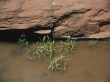 Grass Growing from Standing Water with Red Rocks Behind