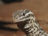 A Close View of the Head of an Ocellated Ridge-Tailed Monitor Lizard