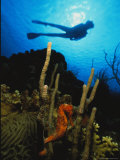 A Silhouetted Diver Swims Above a Seahorse Tethered to Coral