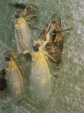 Newly Emerged Brood X  17-Year Cicadas  Showing Nymphal Exoskeleton