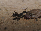 Ant Pulling and Feeding on a Dead Gecko