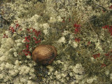A Mushroom Grows Among a Cranberry Bush and Lichens