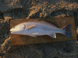 A Red Drum Caught While Surf Fishing on the Outer Banks