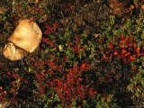 A Mushroom Grows Next to a Cranberry Bush