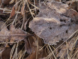 Frost Glints on Dead Leaves