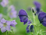 Close View of Wooly Geranium (Left) and Monkshood Flowers