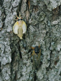A Newly Emerged White Brood X Cicada Next to an Older Black Adult