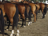 The Hindquarters of a Row of Well-Groomed Horses