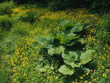 Skunk Cabbage Growing Among Yellow Buttercups