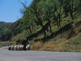 A Goatherd Leads His Flock of Goats Along a Rural Road Near Beijing